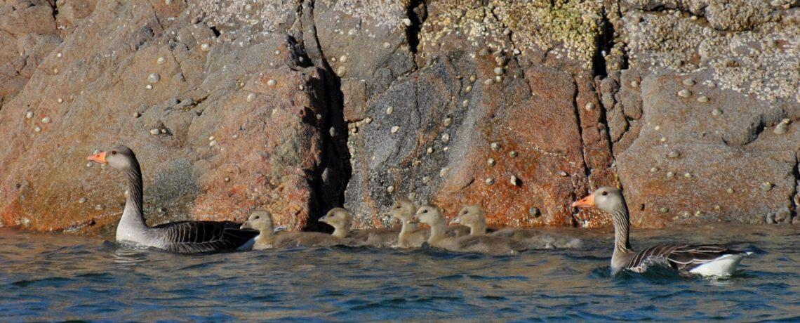 Søknad om tidlig jaktstart for grågås – ber om uttalelse